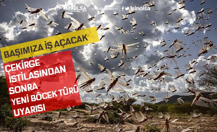 """Türkiye'de Çekirge İstilası ile Yeni Böcek Türü Uyarısı """"Başımıza İş Açacak"""""""