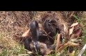 Anne tavşan yavrularını yılandan kurtarıyor!